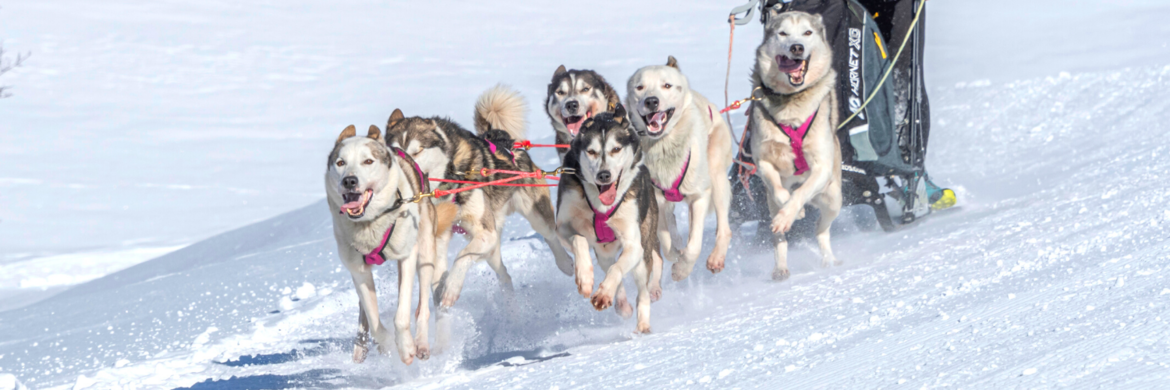 SLEDEHONDENSPORT