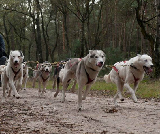 Sledehondensport *eigen honden/foto
