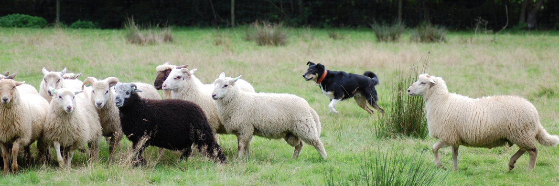 Schapendrijven *eigen hond/foto