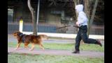 Canicross met de Dog Trekking Belt